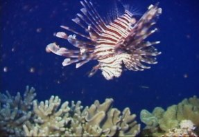 One of the many Lionfish we saw on this trip.
