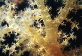 Close-up of yellow soft coral